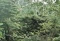 Fuscospora solandri (Hook.f.) Heenan and Smissen (AM AK154967).jpg