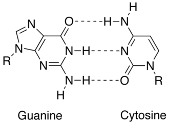 Complementarity (molecular biology) - Match up between two DNA bases (guanine and cytosine) showing hydrogen bonds (dashed lines) holding them together