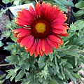 Gaillardia-arizona-red-shades-3723.jpg
