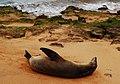 Galápagos fur seal (4229129006).jpg