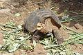 Galápagos tortoise Santa Cruz Island Galápagos Ecuador DSC00253 ad.JPG
