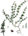 Galium tricornutum - Flora batava 1893.png