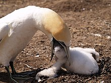Large seabird feeding fluffy white chick on the ground