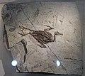 Gansus-Beijing Museum of Natural History.jpg
