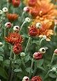 Garden Mums at small farm (2867717304).jpg