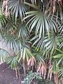 Gardenology.org-IMG 1971 hunt0903.jpg