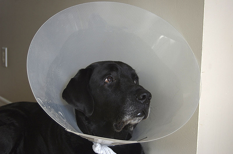 File:Gaucho - post-surgery dog cone.jpg