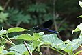 Gebänderte Prachtlibelle Calopteryx splendens 5593.jpg