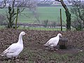 Geese at Mellon Homestead, Omagh - geograph.org.uk - 284059.jpg