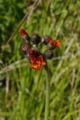 Gemuenden Ehringshausen Feldatal Hieracium aurantiacum c.png