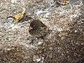 Genovesa Ground Finch (Geospiza acutirostris), female.jpg