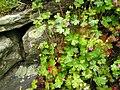 Geranium lucidum, Wales.jpg
