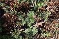Geranium sanguineum John Elsley 2zz.jpg