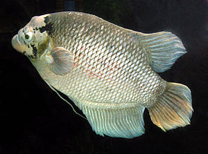 Fish farming - Giant gourami is often raised in cages in central Thailand.