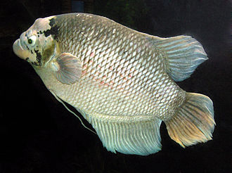 Anabantoidei - The giant gourami, Osphronemus goramy, is often raised in floating cages in central Thailand.