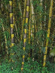 Bambù giganti dell'Ecuador.