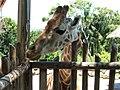 Giraffe Taronga zoo - panoramio.jpg