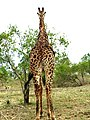 Giraffe at Kirkman's Kamp, Sabi Sand Game Reserve, South Africa.JPG