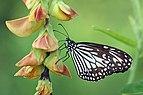 Glassy tiger (Parantica aglea) female underside.jpg