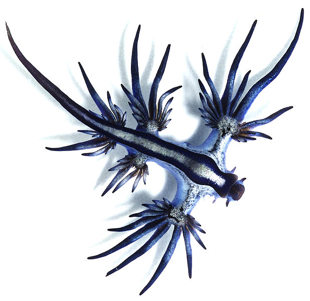 File:Glaucus atlanticus 1 cropped.jpg