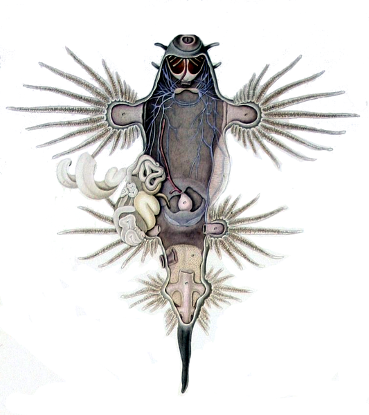 Файл:Glaucus atlanticus dissected.png