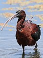 Glossy Ibis, Plegadis falcinellus at Marievale Nature Reserve, Gauteng, South Africa. Marievale is probably the best place to see this bird. (20491490024).jpg