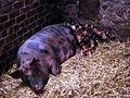 Gloucester Old Spot Sow & Piglets.jpg