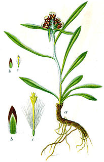 Omalotheca genus of plants