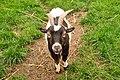 Goat at Powderham Castle (7738).jpg