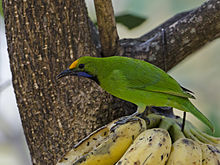 Golden Fronted Leafbird.jpg