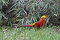 Golden Pheasant, Tangjiahe Nature Reserve.jpg