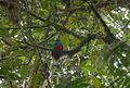 Golden headed Quetzal. Pharomachrus auriceps - Flickr - gailhampshire.jpg