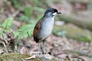 Jocotoco antpitta - In Tapichalaca Reserve, Ecuador
