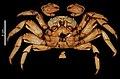 Grapsus grapsus (MNHN-IU-2000-3415) 003.jpeg