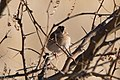 Grasshopper Sparrow Curly Horse Ranch Rd Sonoita AZ 2018-01-26 09-12-20 (39038434115).jpg