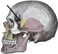 Gray188-Sphenofrontal suture.png