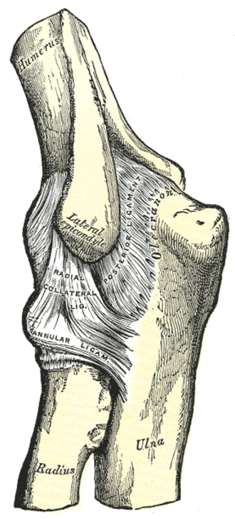Radial collateral ligament of elbow joint - Left elbow joint, showing posterior and radial collateral ligaments. (Radial collateral ligament visible near center.)