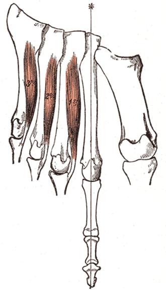 Plantar interossei muscles - The Interossei plantares. Left foot.