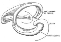 Hippocampus anatomy - Wikipedia