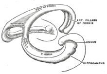 Diagramo de la fornix. Right=anterior