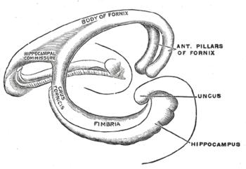 Shape of human hippocampus and associated stru...