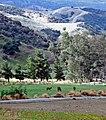 Grazing, Live Oak Canyon 2-12 (17551632870).jpg