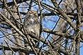 Great-horned owl at Minnesota Valley National Wildlife Refuge (31620201925).jpg