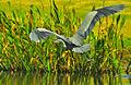 Great Blue Heron Flying.jpg