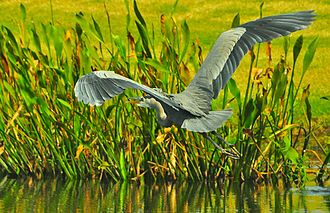 Great blue heron - On a slow-flying glide
