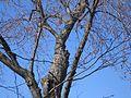 Great Horned Owl - Flickr - GregTheBusker (3).jpg