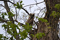 Great Horned Owl Owlet (Bubo virgianus) (13998292942).jpg