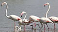 Greater Flamingo, Phoenicopterus roseus at Marievale Nature Reserve, Gauteng, South Afr (23402338285).jpg