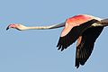 Greater Flamingo, Phoenicopterus roseus at Marievale Nature Reserve, Gauteng, South Africa (29316926282).jpg