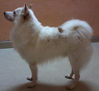 Greater indian spitz.jpg
